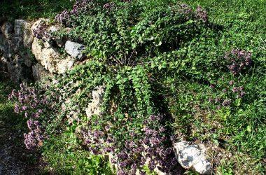 La pianta di origano — presso Arboreto Alpino Gleno.