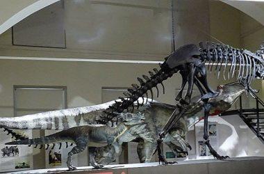 Museo di scienze naturali-Caffi -Bergamo calco in grandezza naturale di uno scheletro di allosauro