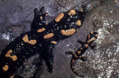 Salamandra Buca del Corno - Entratico